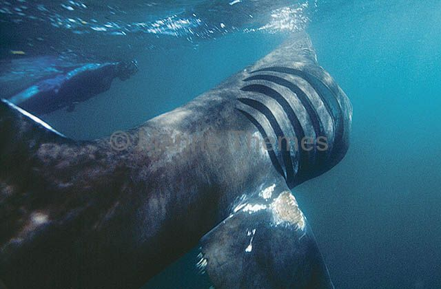 Basking shark eating plankton