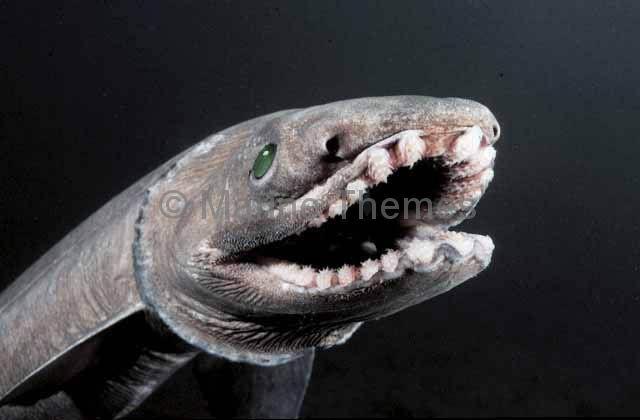 Frilled shark attack
